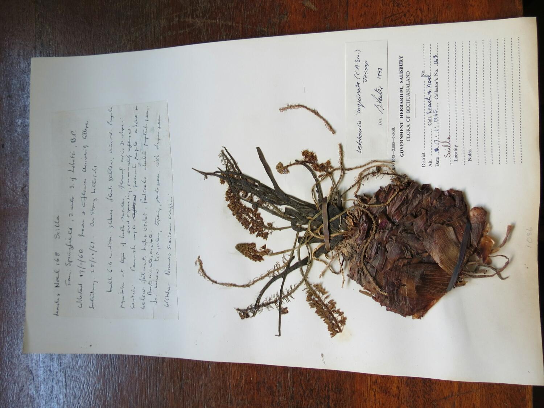 A rad Ledebouria specimen.