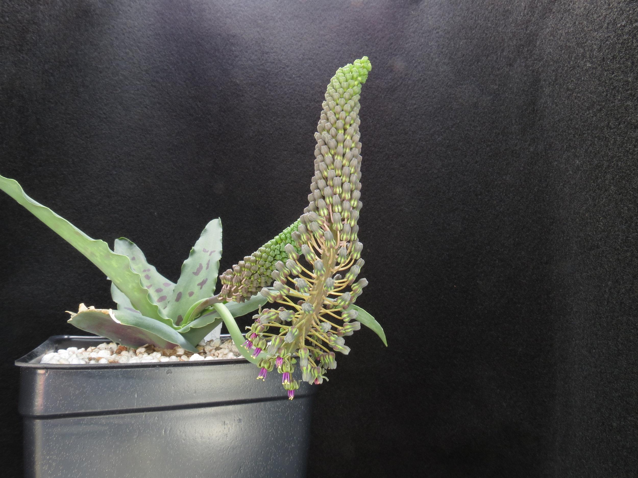 Ledebouria aff. cremnophila