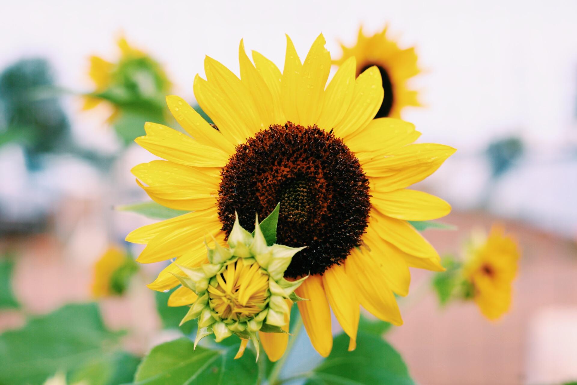 Agriculture sunflower.JPG