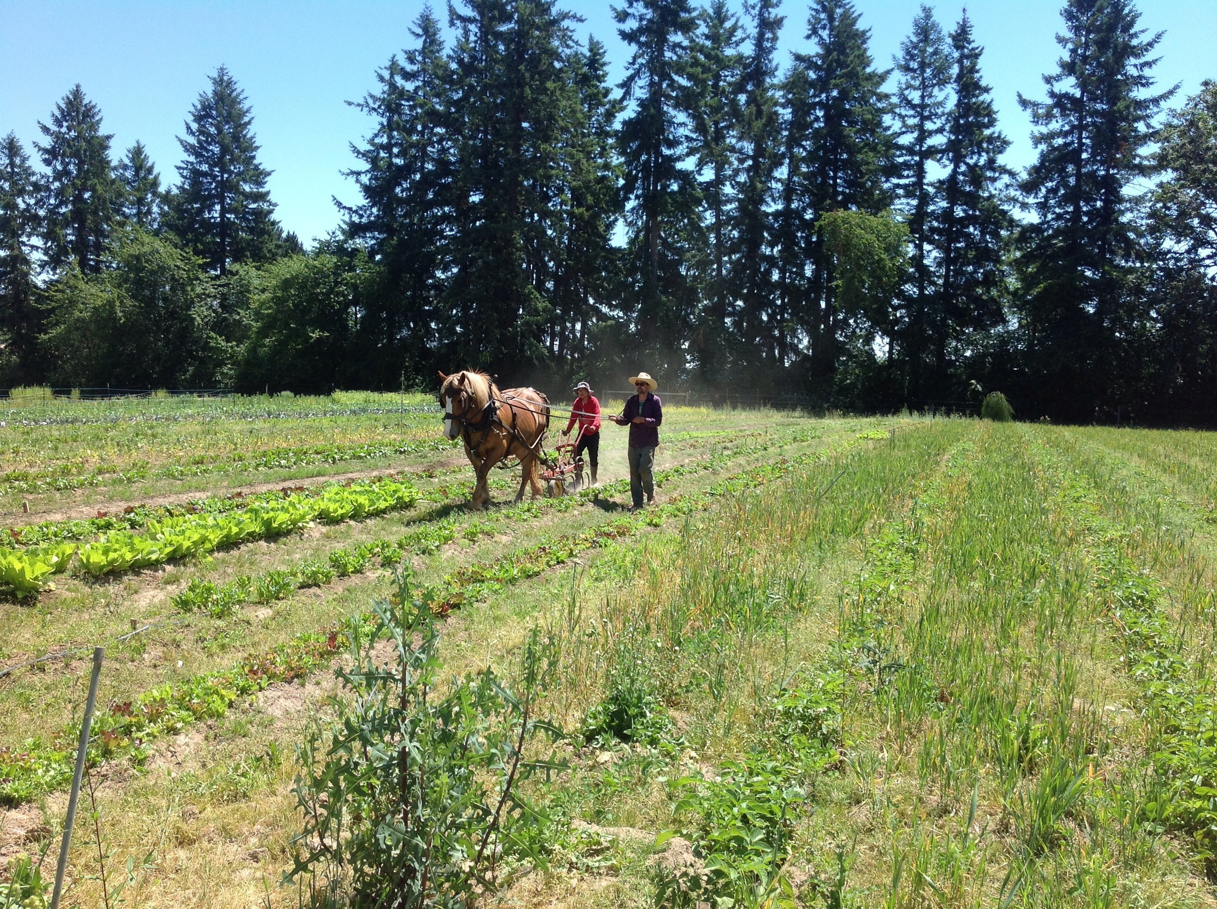 Jesse, Jose, and Esther weed between the lettuces. It's a lot faster with one horsepower!