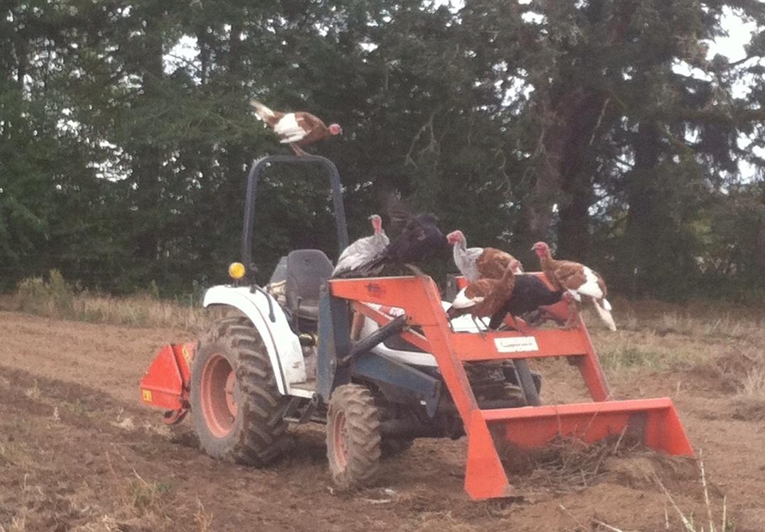 turkeys on tractor.jpg