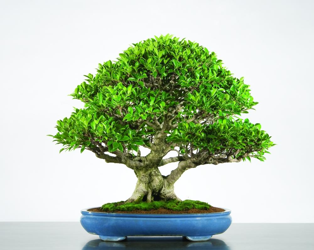Chinese Banyan