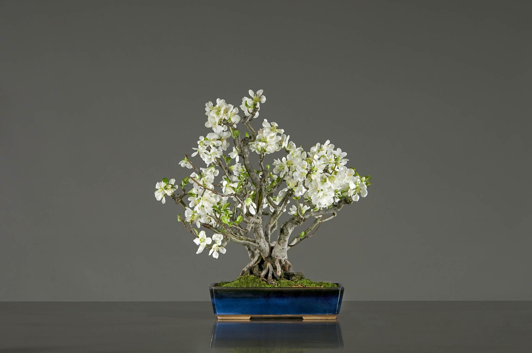 Zoge Japanese Flowering Quince