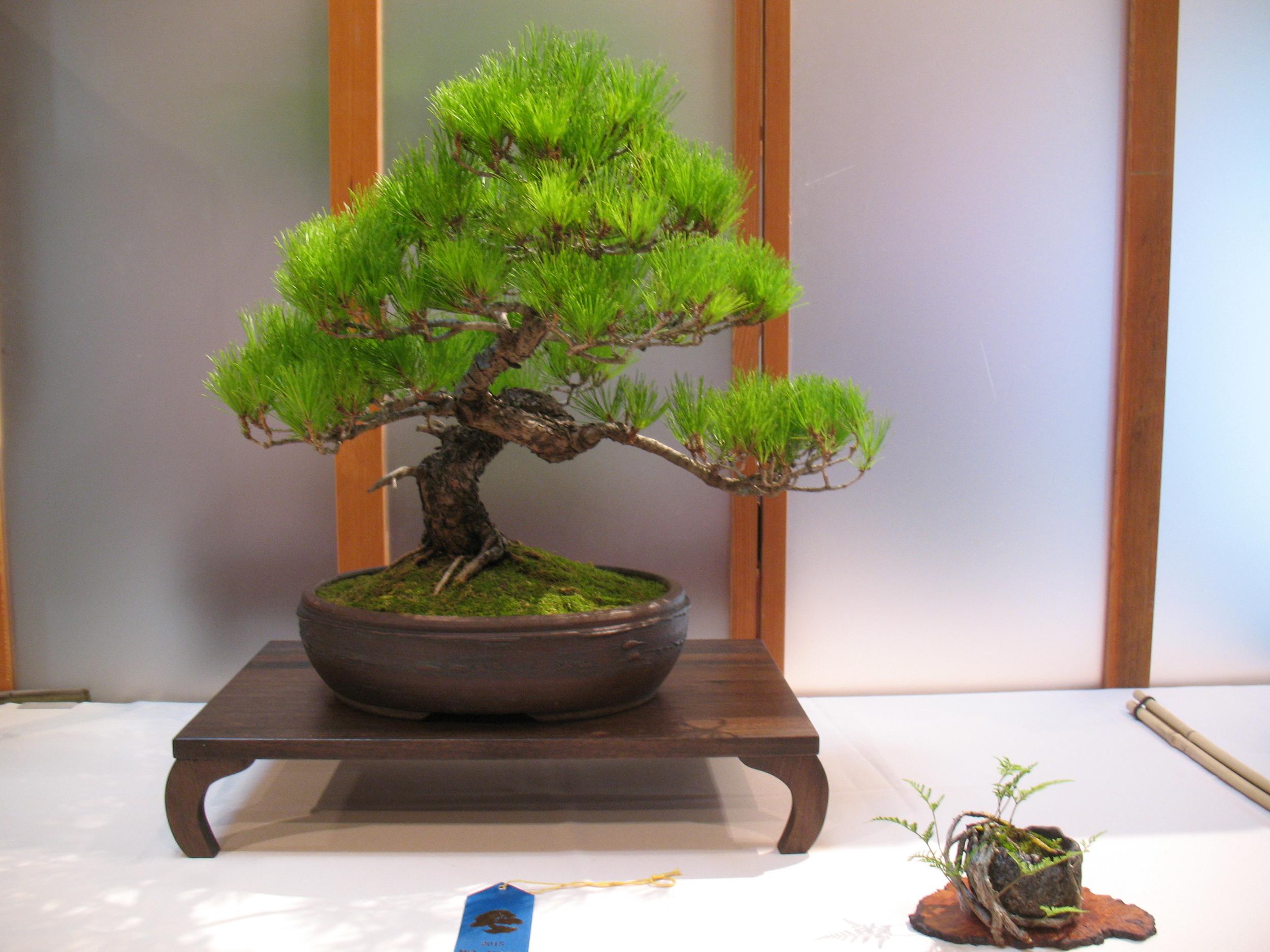2015 Mid-America Exhibit - Open - Japanese Red Pine