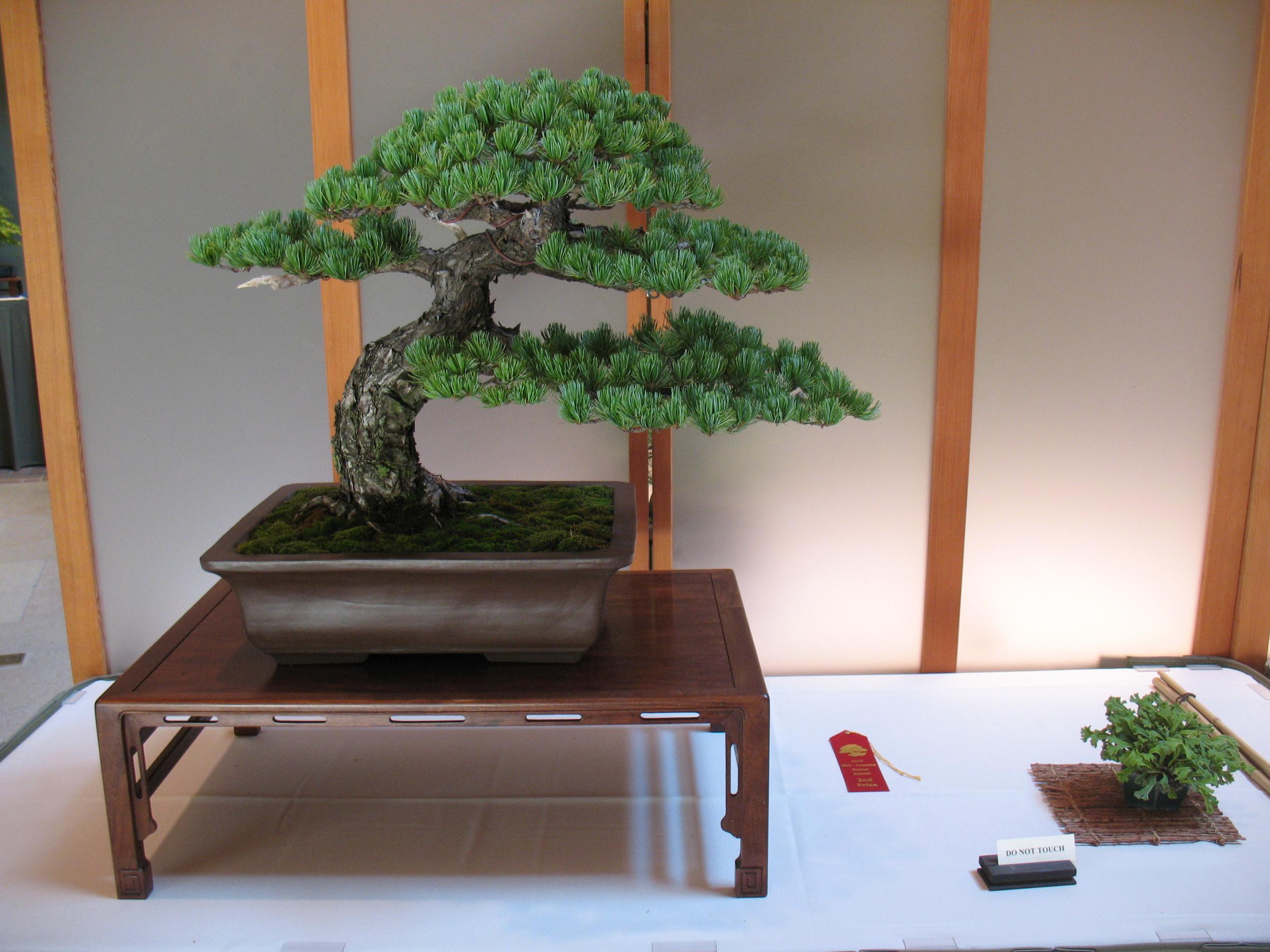 2015 Mid-America Exhibit - Open - Japanese White Pine