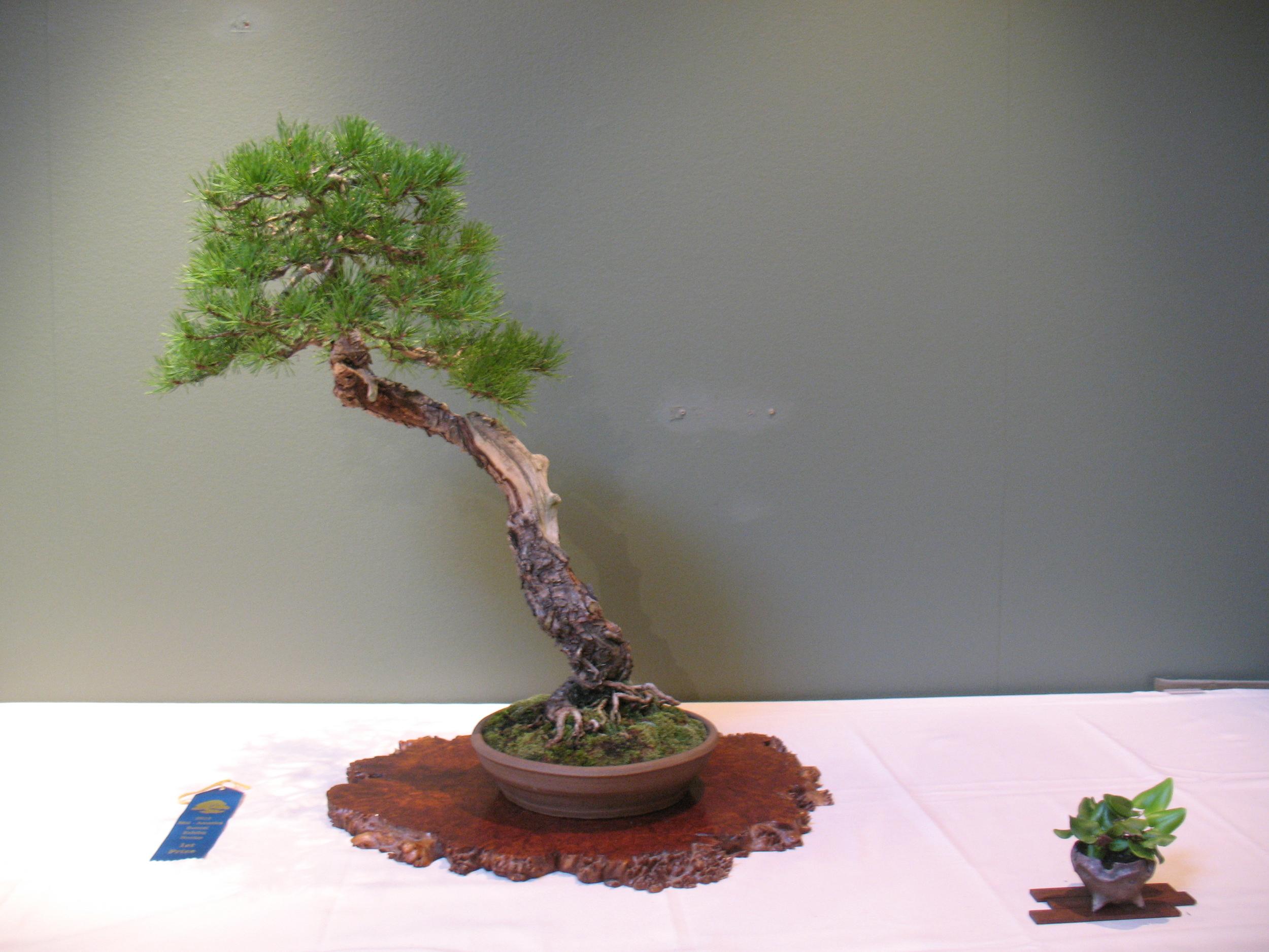 2015 Mid-America Exhibit - Open - Scots Pine