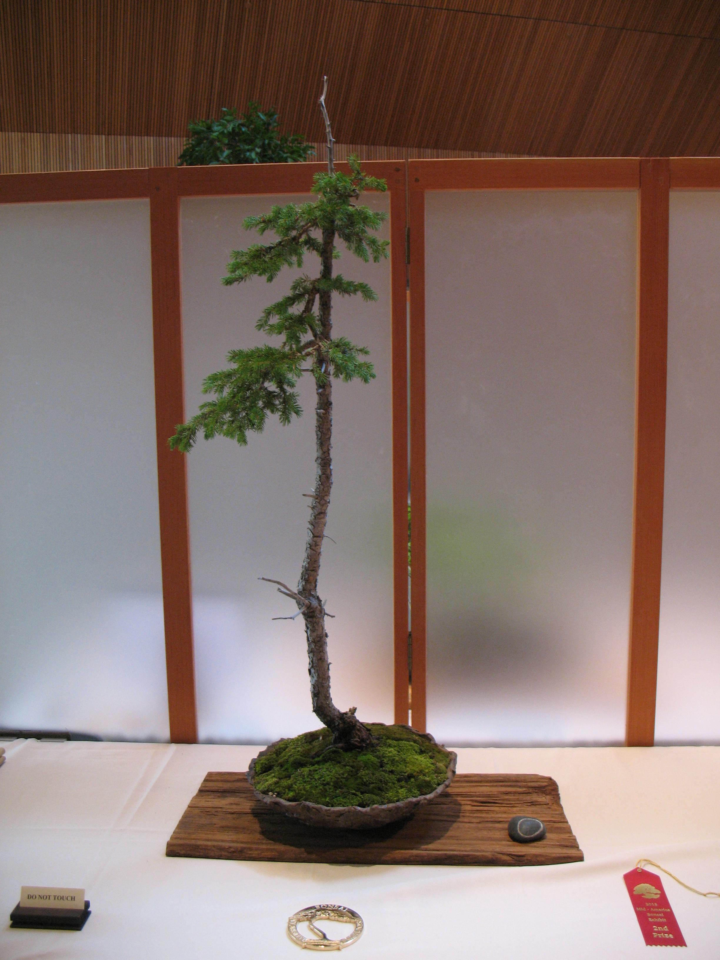 2015 Mid-America Exhibit - Open - Black Hills Spruce
