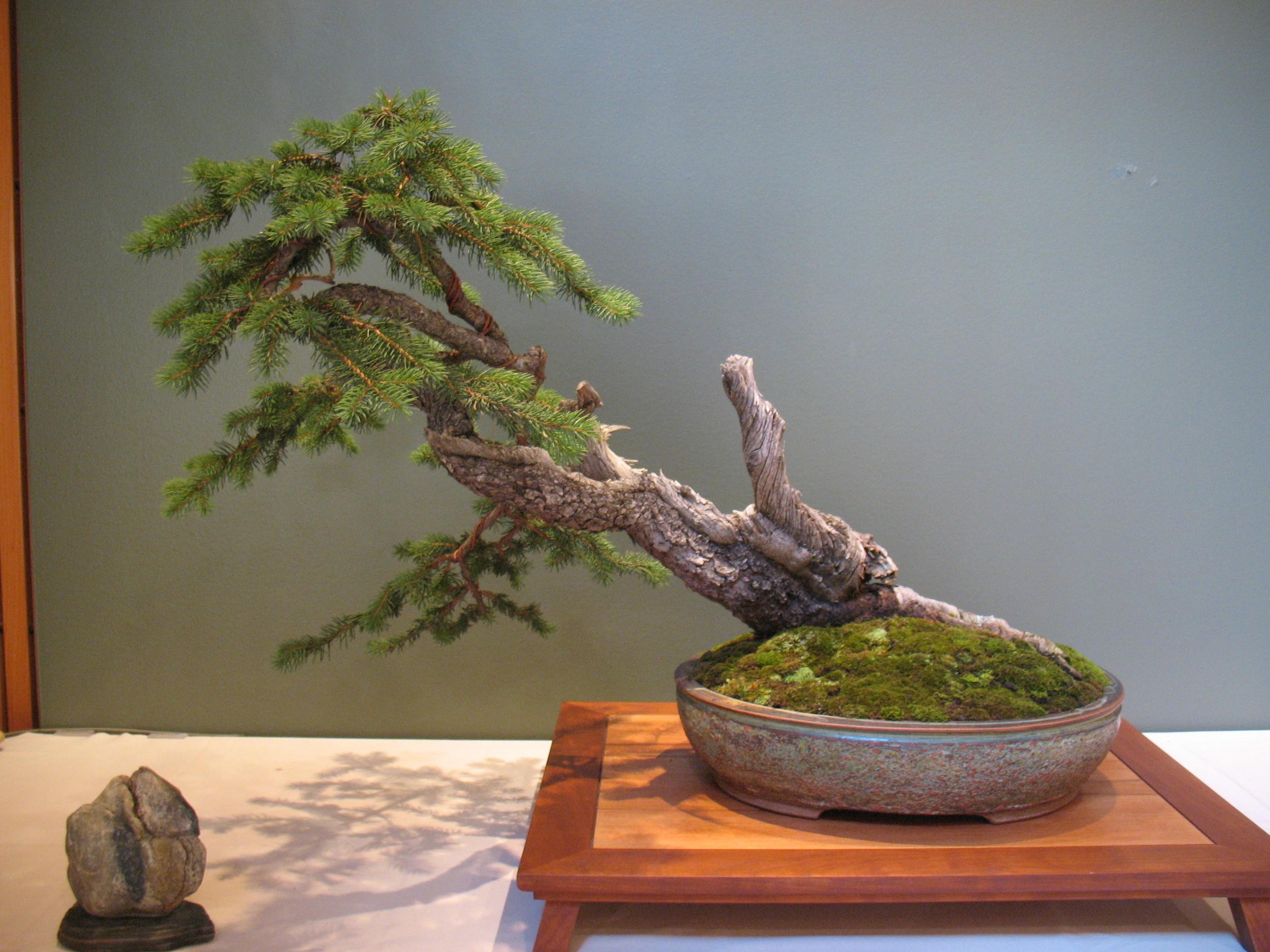2015 Mid-America Exhibit - Profesional - Colorado Spruce
