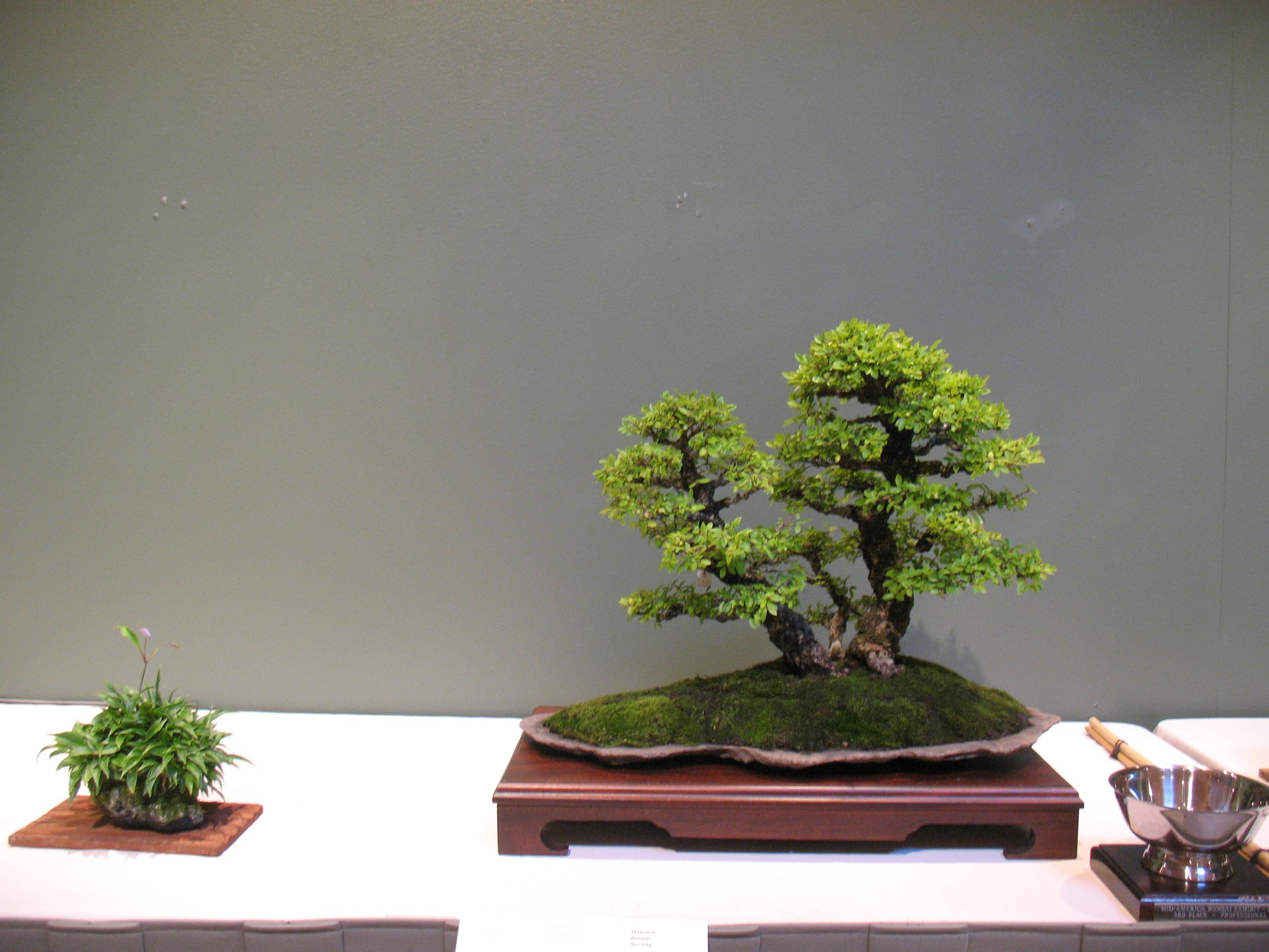 2015 Mid-America Exhibit - Professional - Chinese Elm