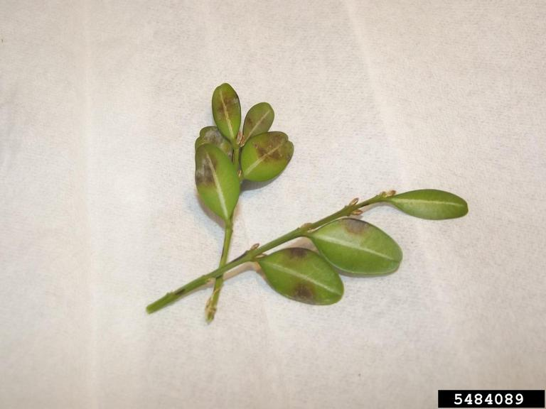 Leaf spots caused by Calonectria pseudonaviculata - Photo by Sandra Jensen, Cornell University, Bugwood.org