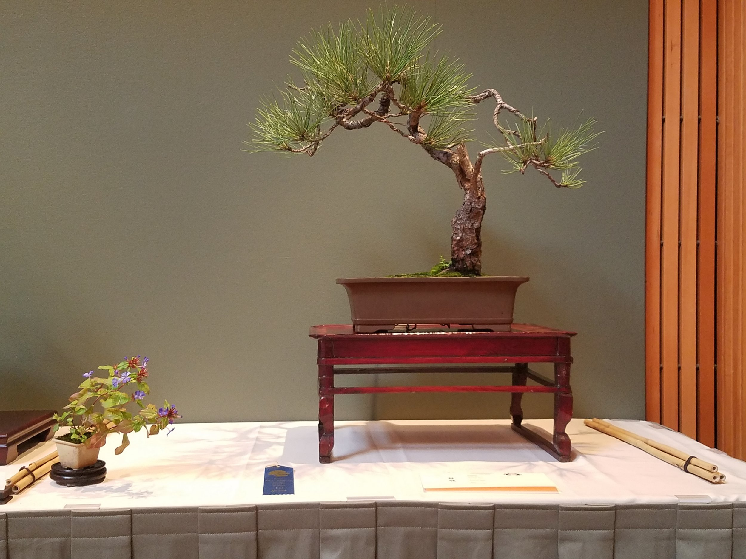 2017 Mid-America Bonsai Exhibition - Ponderosa Pine - Informal Upright