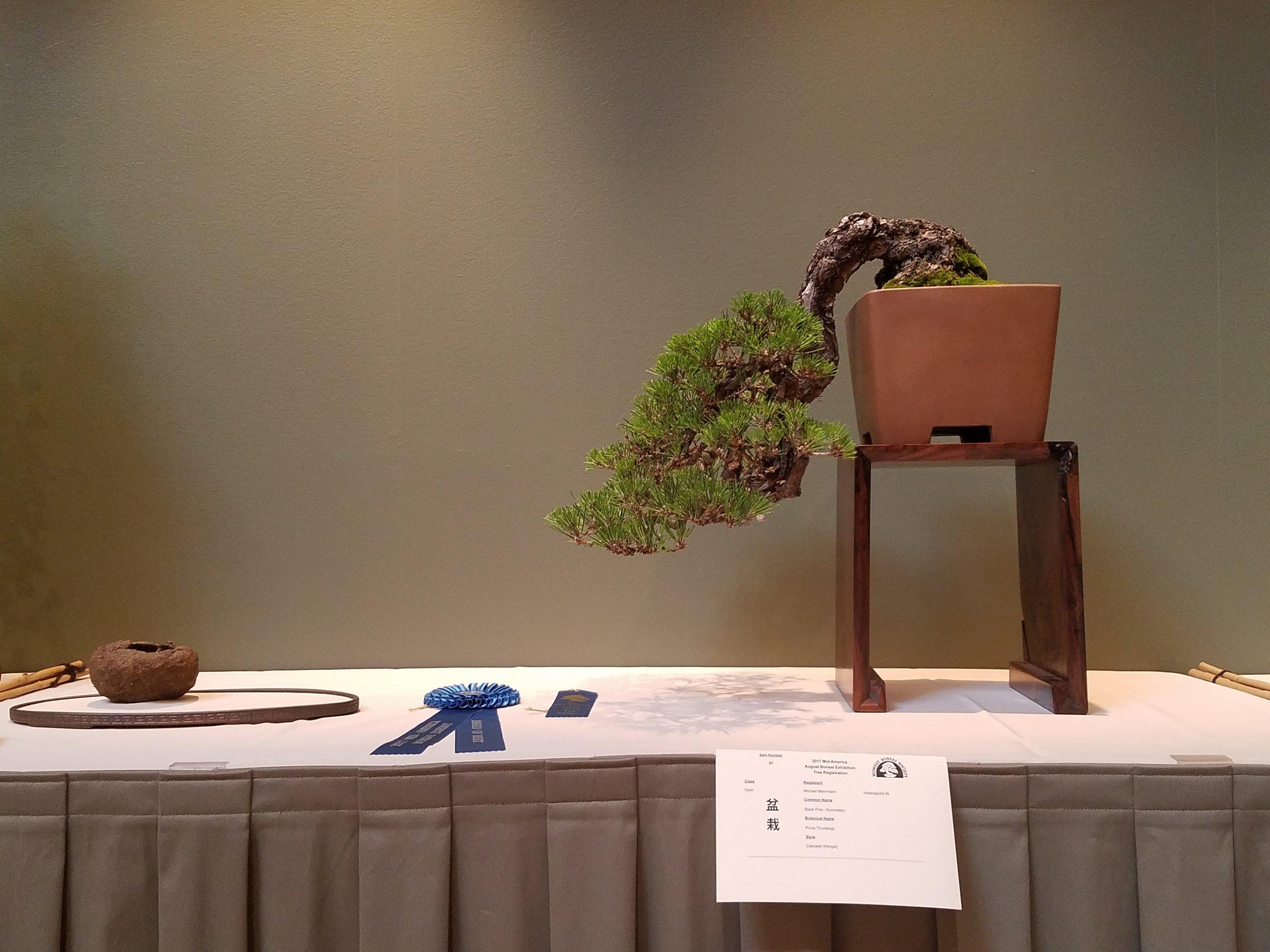 2017 Mid-America Bonsai Exhibition - Japanese Black Pine - Cascade