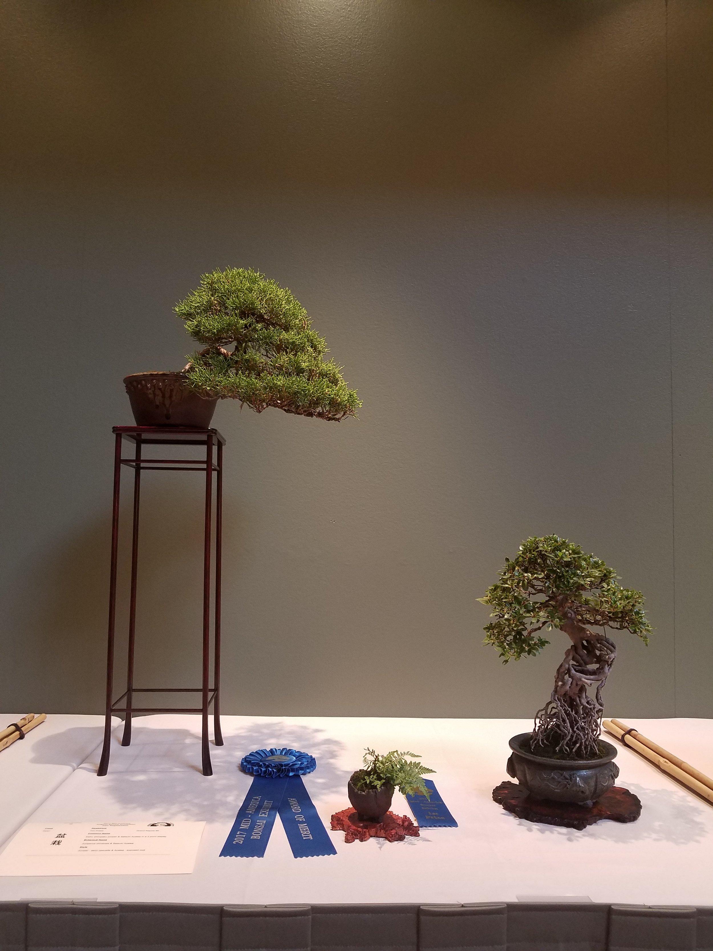 2017 Mid-America Bonsai Exhibition - Kishu Japanese Juniper & Satsuki Azalea - Semi-Cascade & Exposed Root