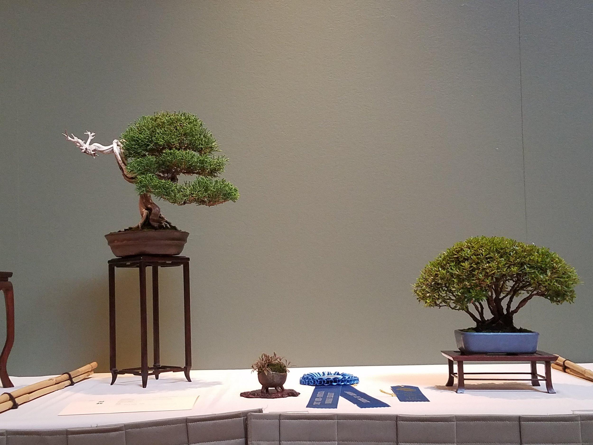 2017 Mid-America Bonsai Exhibition - Itoigawa Shimpaku Juniper & Dwarf Azalea - Slant & Clump