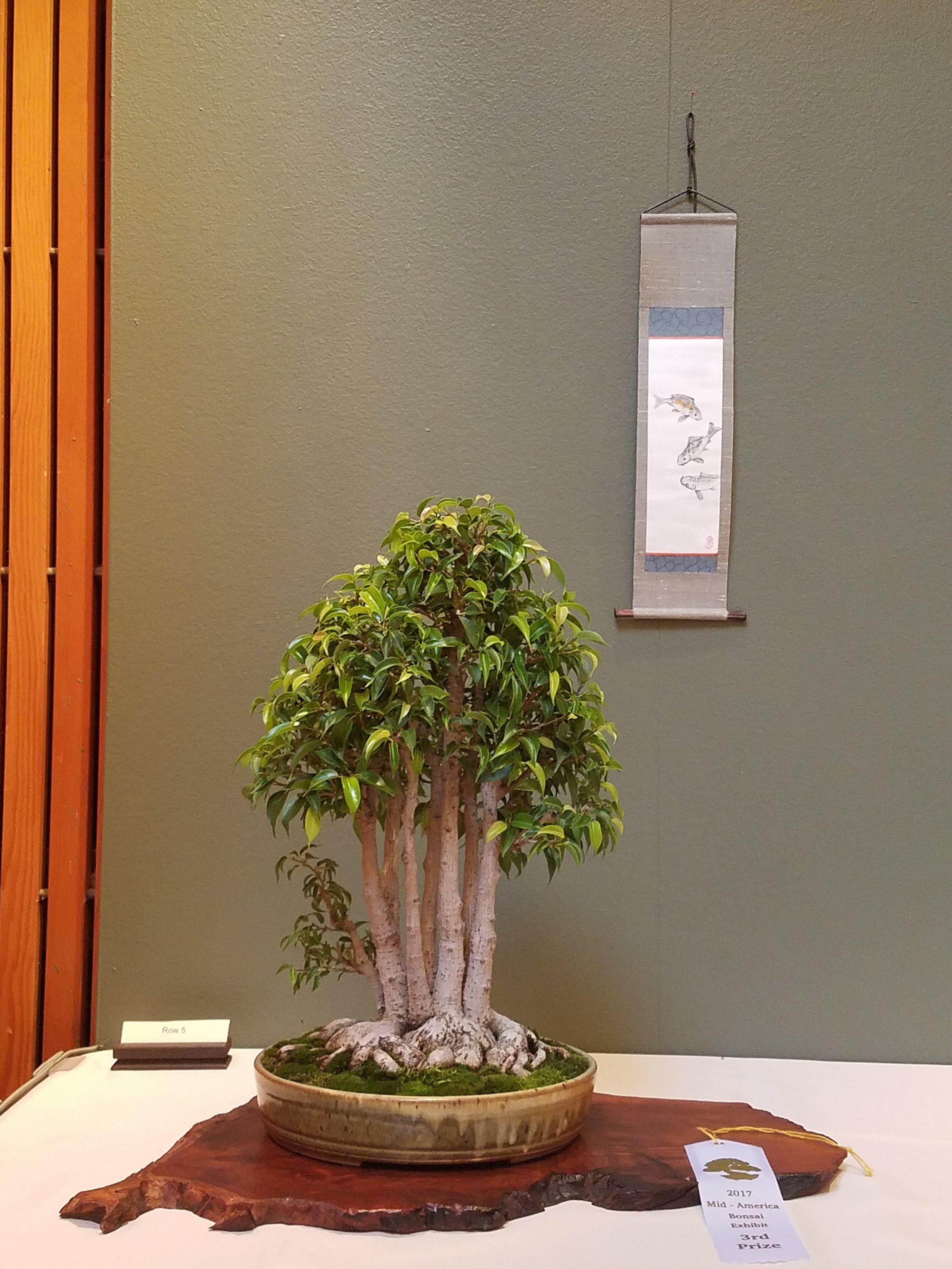 2017 Mid-America Bonsai Exhibition - Ficus - Clump