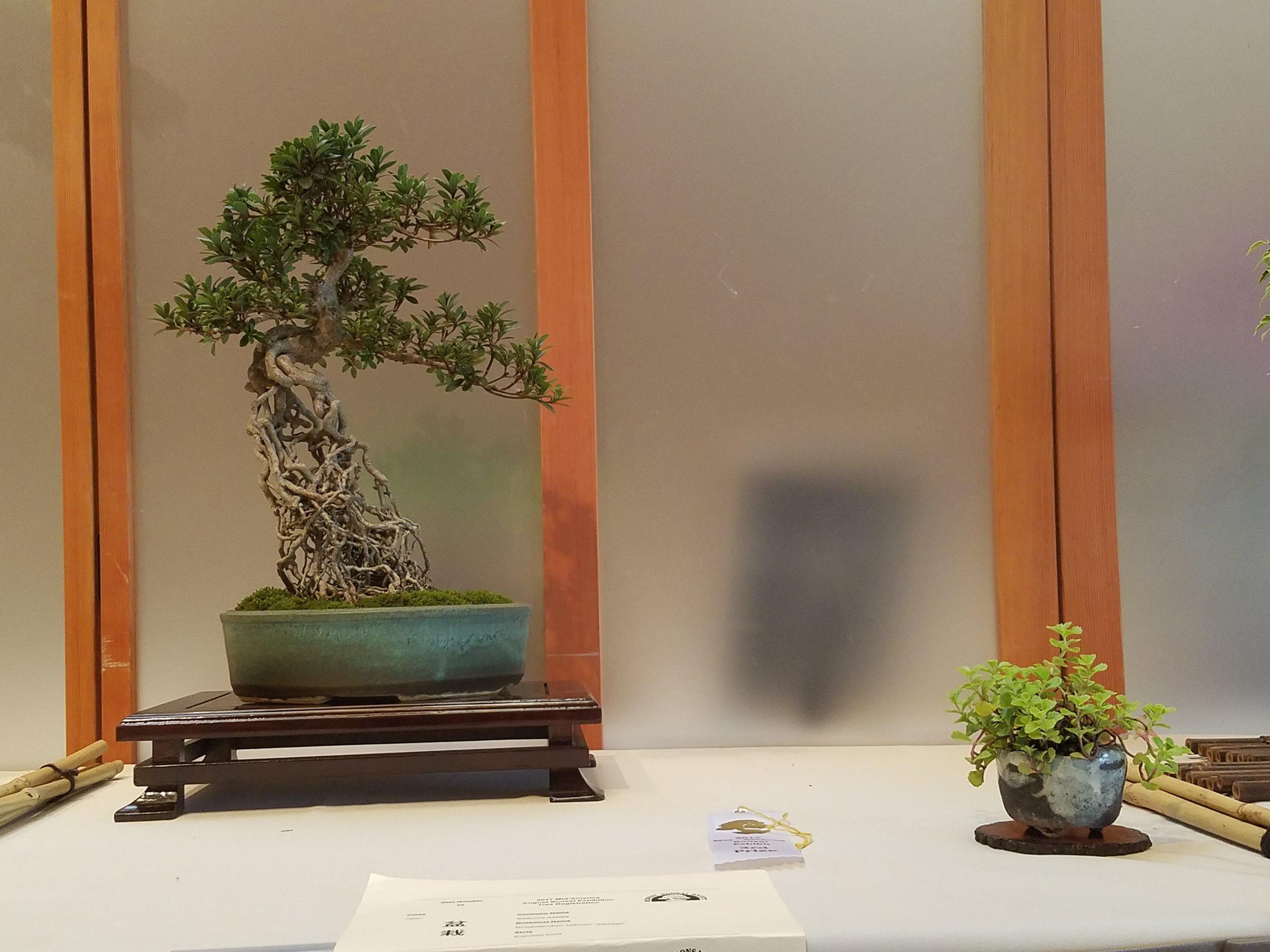 2017 Mid-America Bonsai Exhibition - Satsuma Azalea - Exposed Root