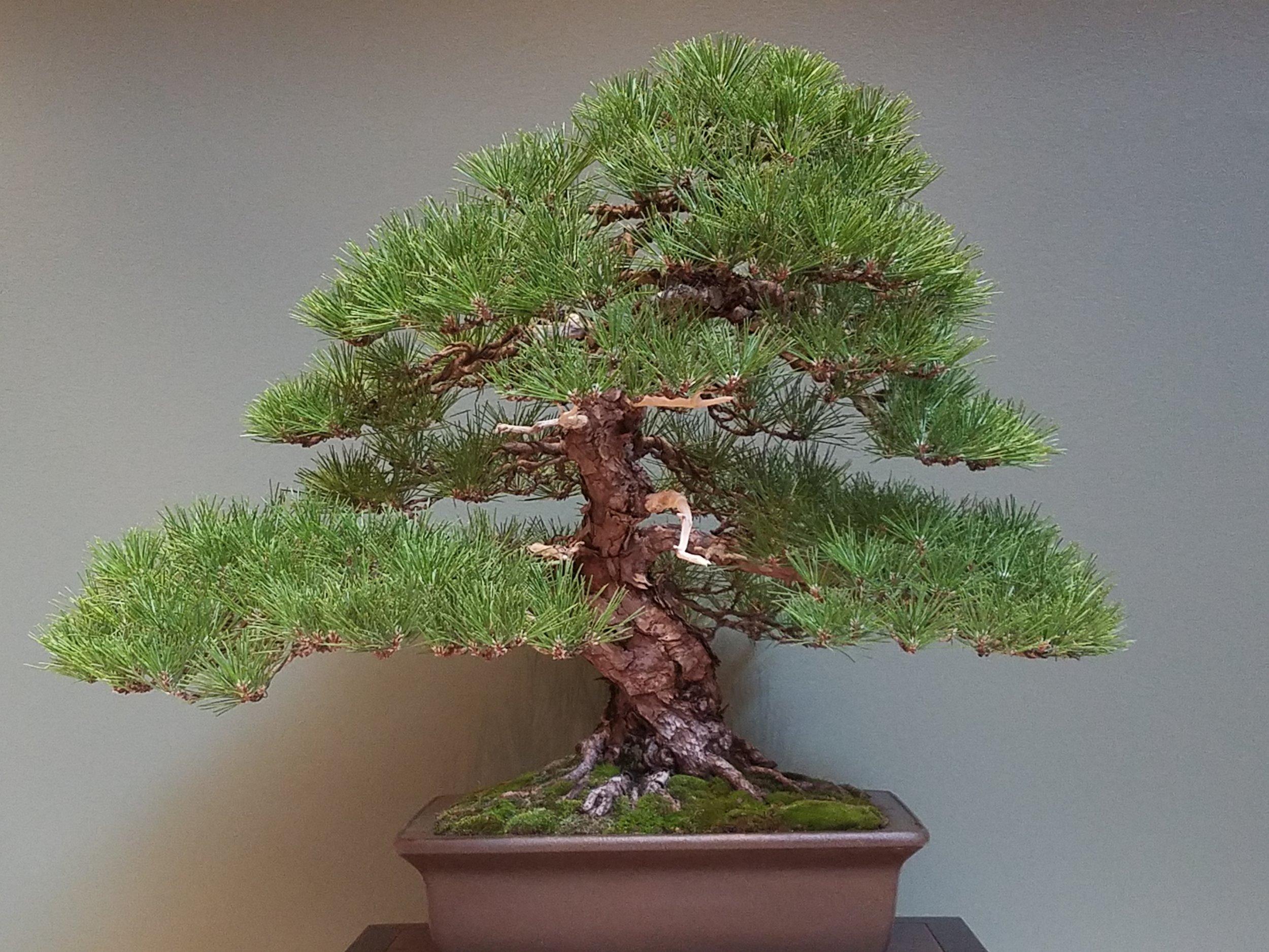 2017 Mid-America Bonsai Exhibition - Japanese Black Pine - Informal Upright
