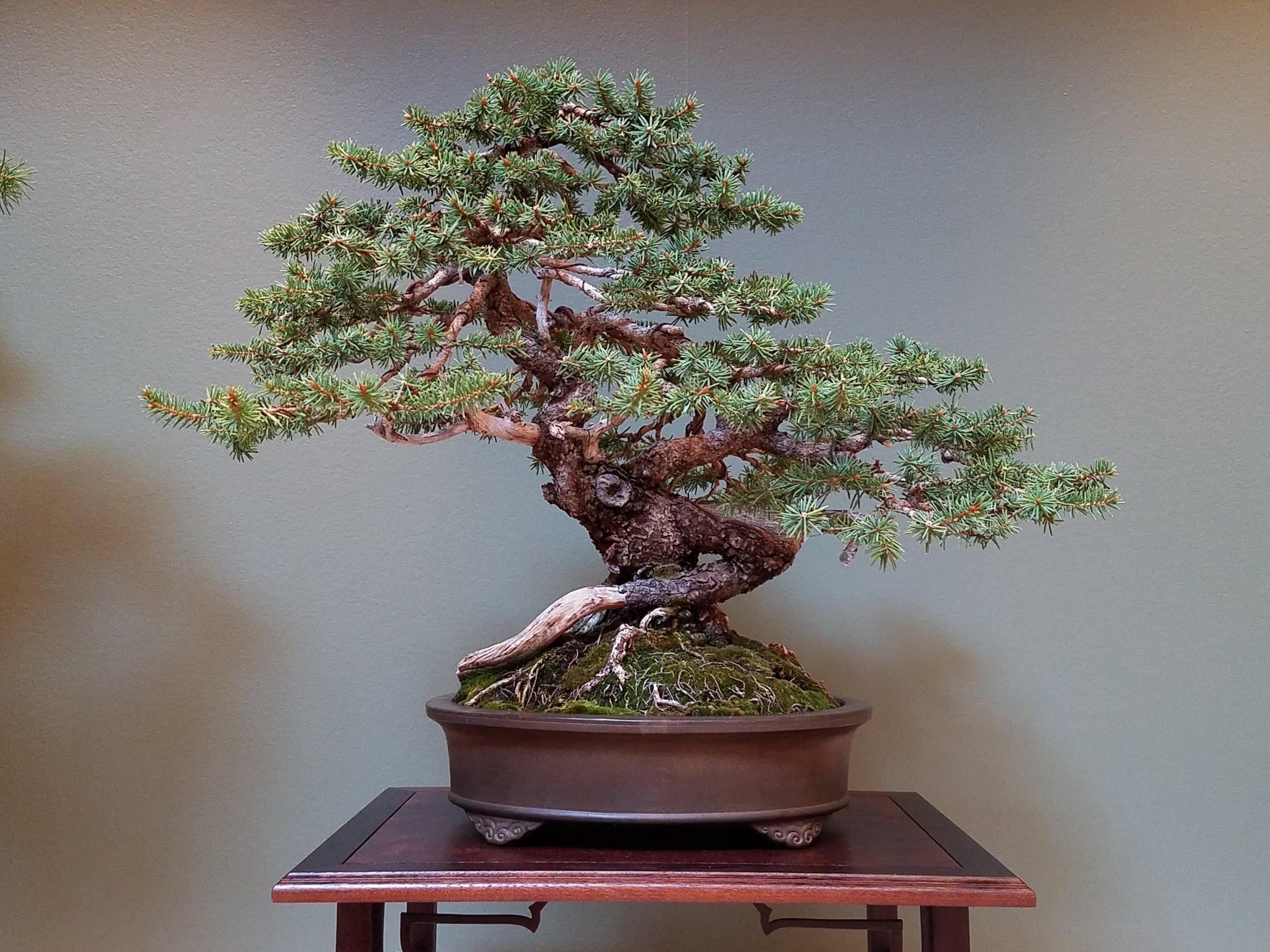2017 Mid-America Bonsai Exhibition - Colorado Blue Spruce - Informal Upright
