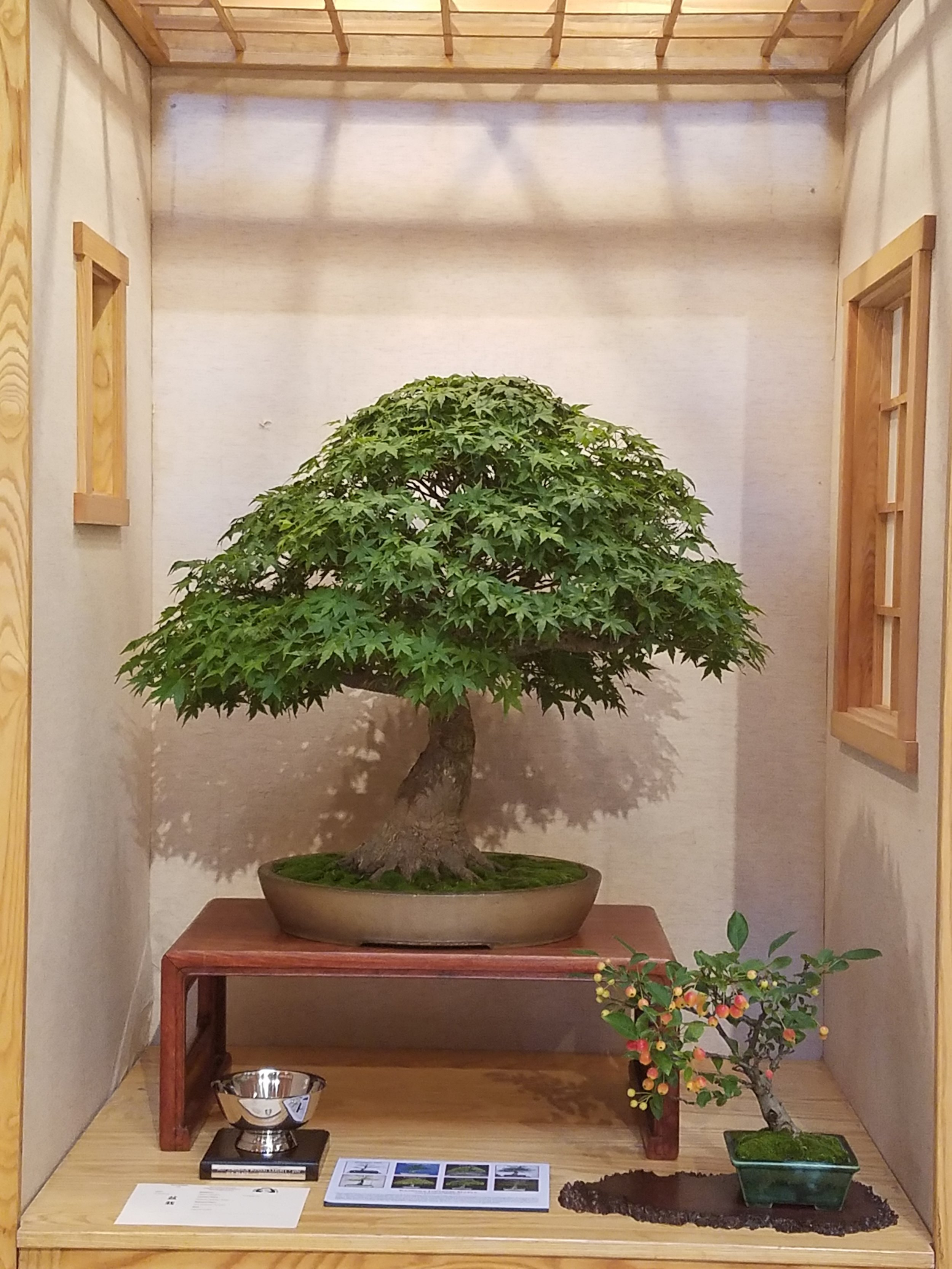2017 Mid-America Bonsai Exhibition - Kashima Japanese Maple - Informal Upright