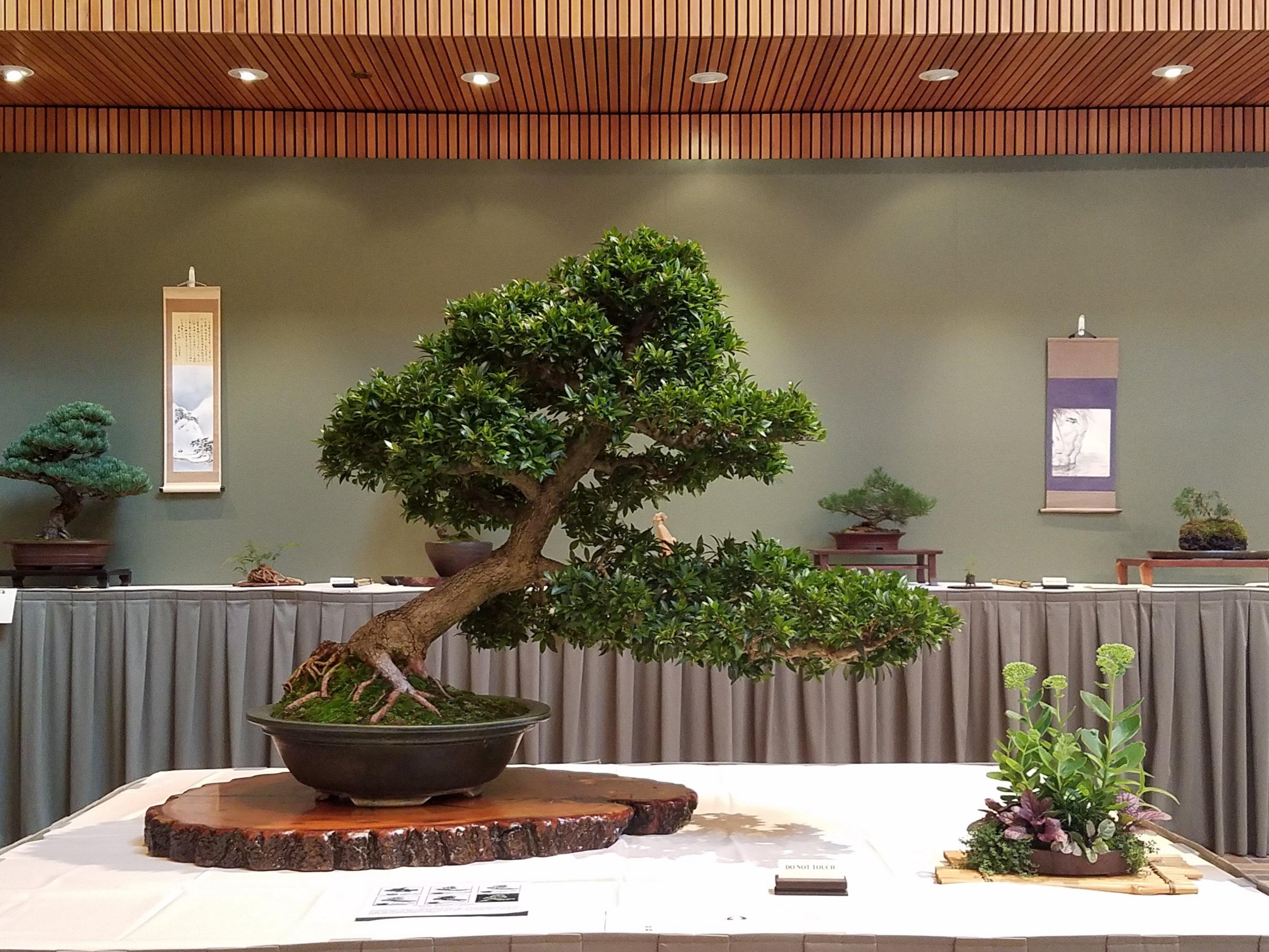 2017 Mid-America Bonsai Exhibition - Dwarf Brush Cherry