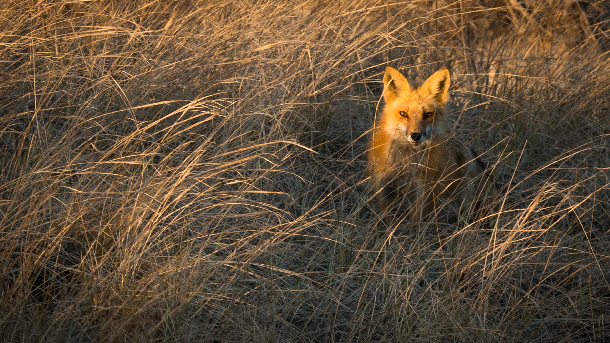 Chatham Fox Patrol