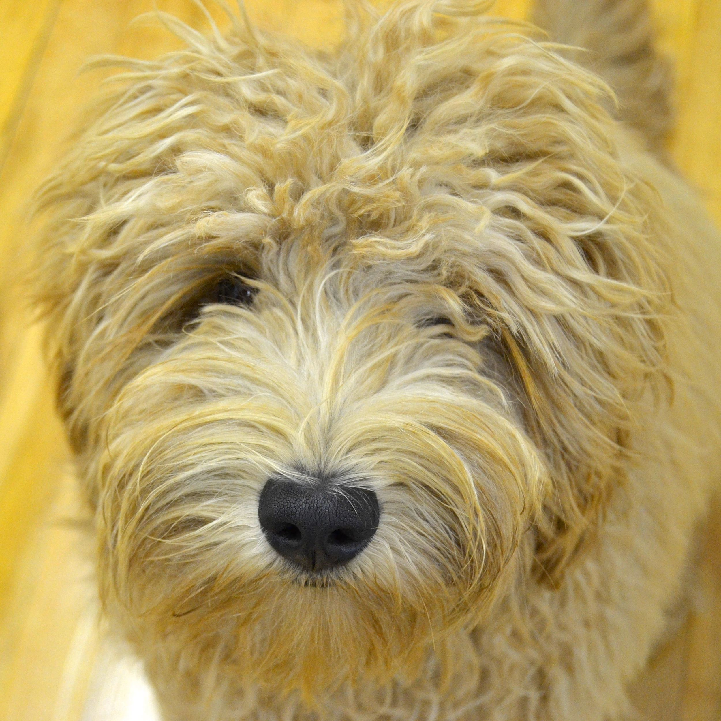 Nandi the labradoodle greets visitors with calm and gentleness.