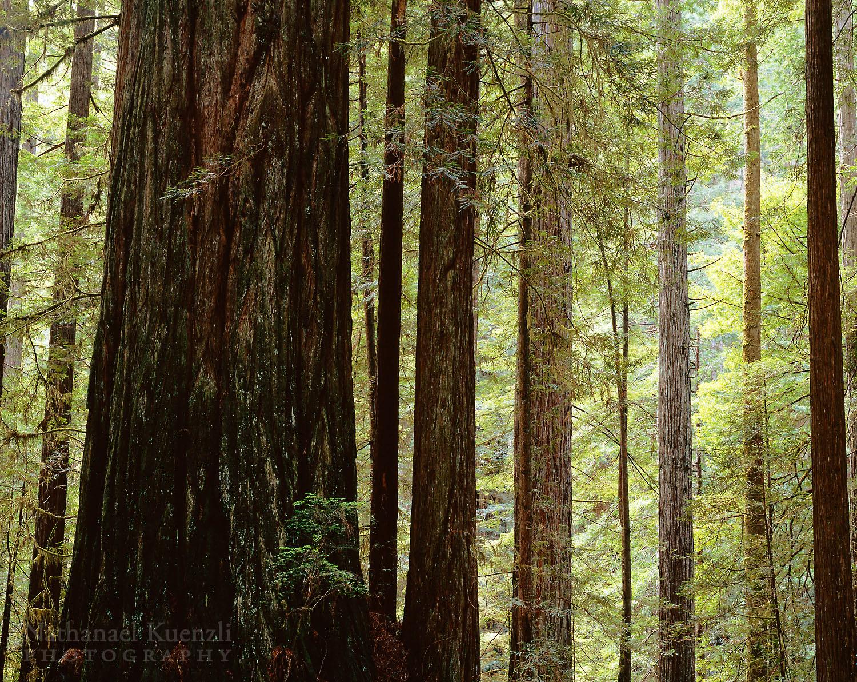 Prairie Creek Redwoods State Park, California, April 2007