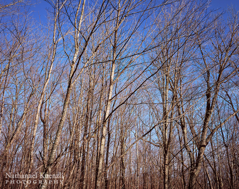 Birches, Superior National Forest, Minnesota, October 2008