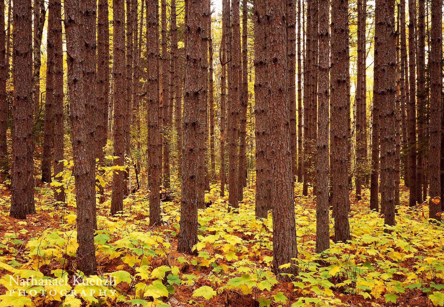 Autumn Pines, Superior National Forest, Minnesota, October 2008
