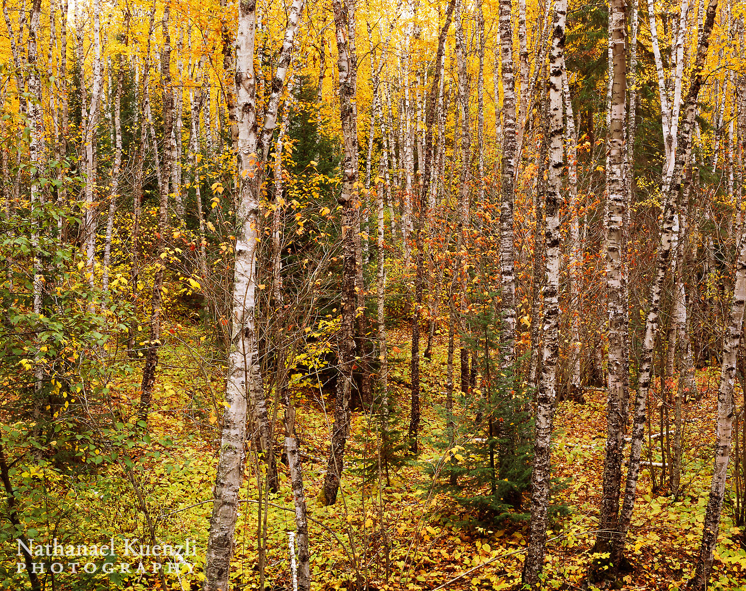 Autumn Forest, Superior National Forest, Minnesota, October 2008