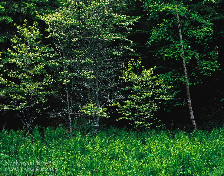 Fiddlehead Ferns, Cascade River State Park, Minnesota, June 2005