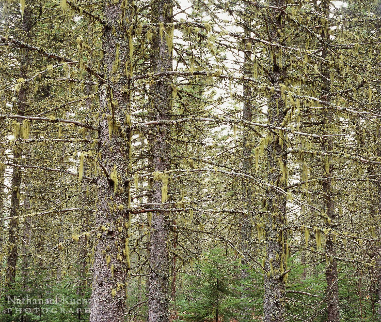 George Washington Memorial Pines, Superior National Forest, Minnesota, October 2008