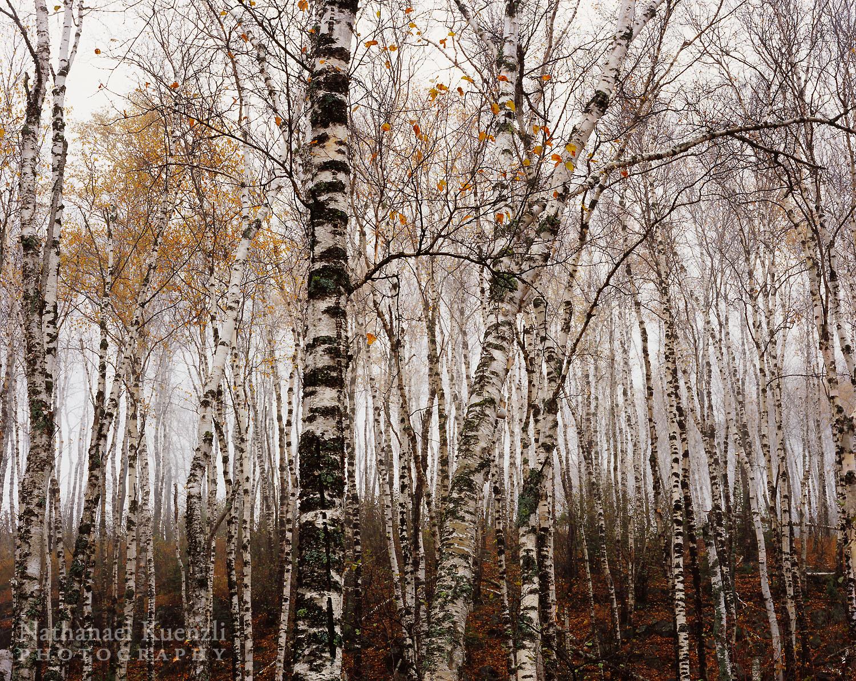 Birches, Split Rock Lighthouse State Park, Minnesota, October 2006