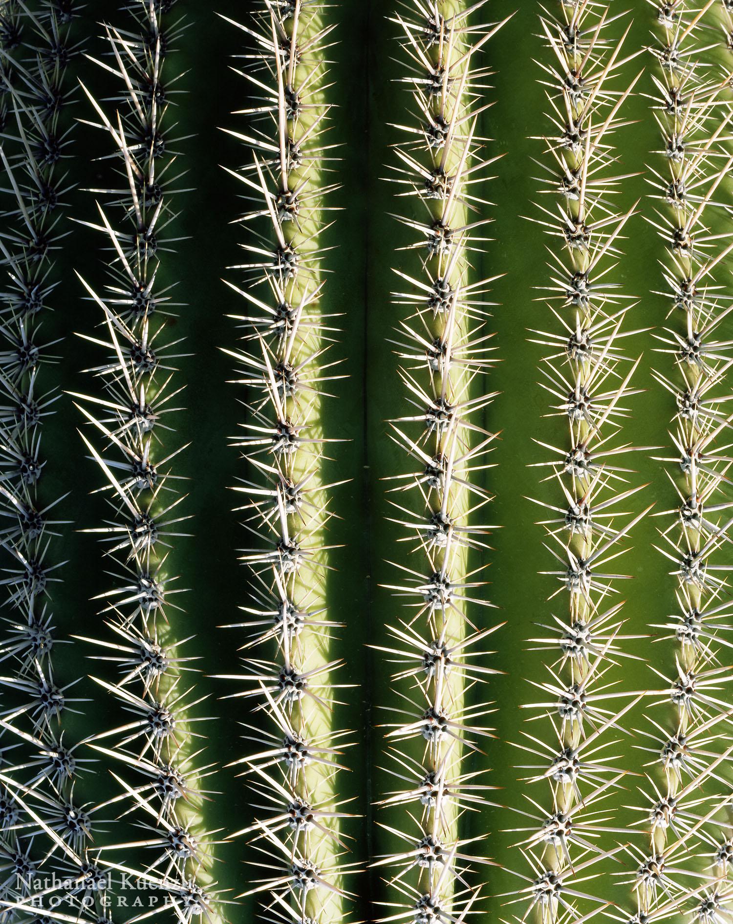 Saguaro Detail, Saguaro National Park, Arizona, March 2008