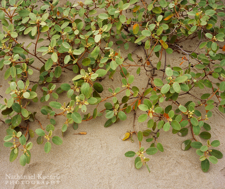 Plant Detail, Padre Island National Seashore, Texas, March 2007