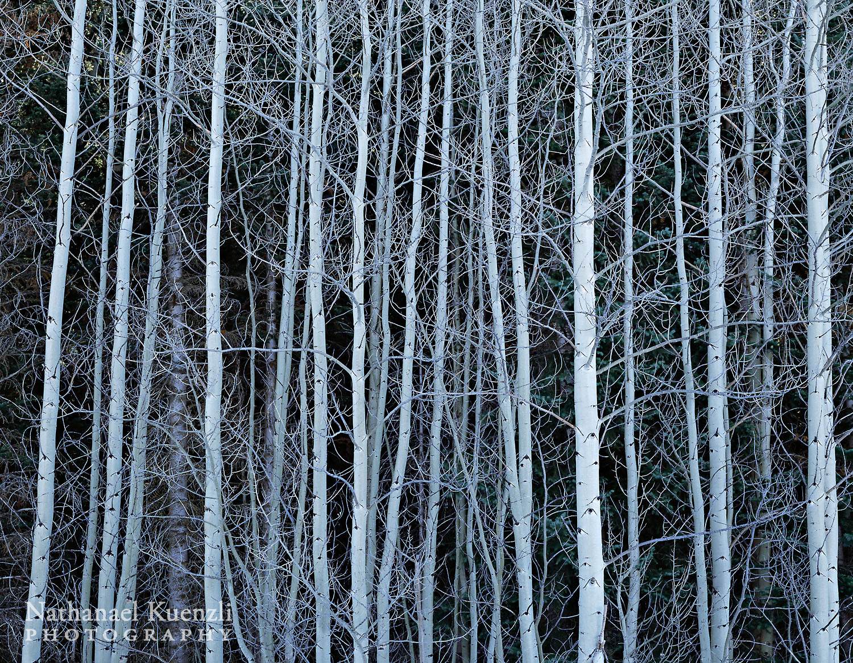 Aspens, Manti-La Sal NF, Utah, November 2010