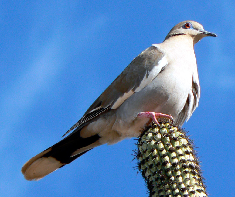 Navo White-winged  Dove.jpg