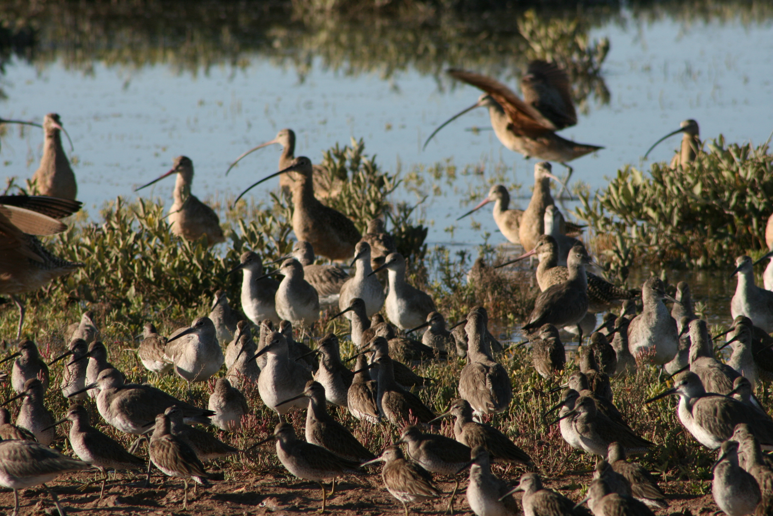 Godwits, Curlews, Willets.JPG