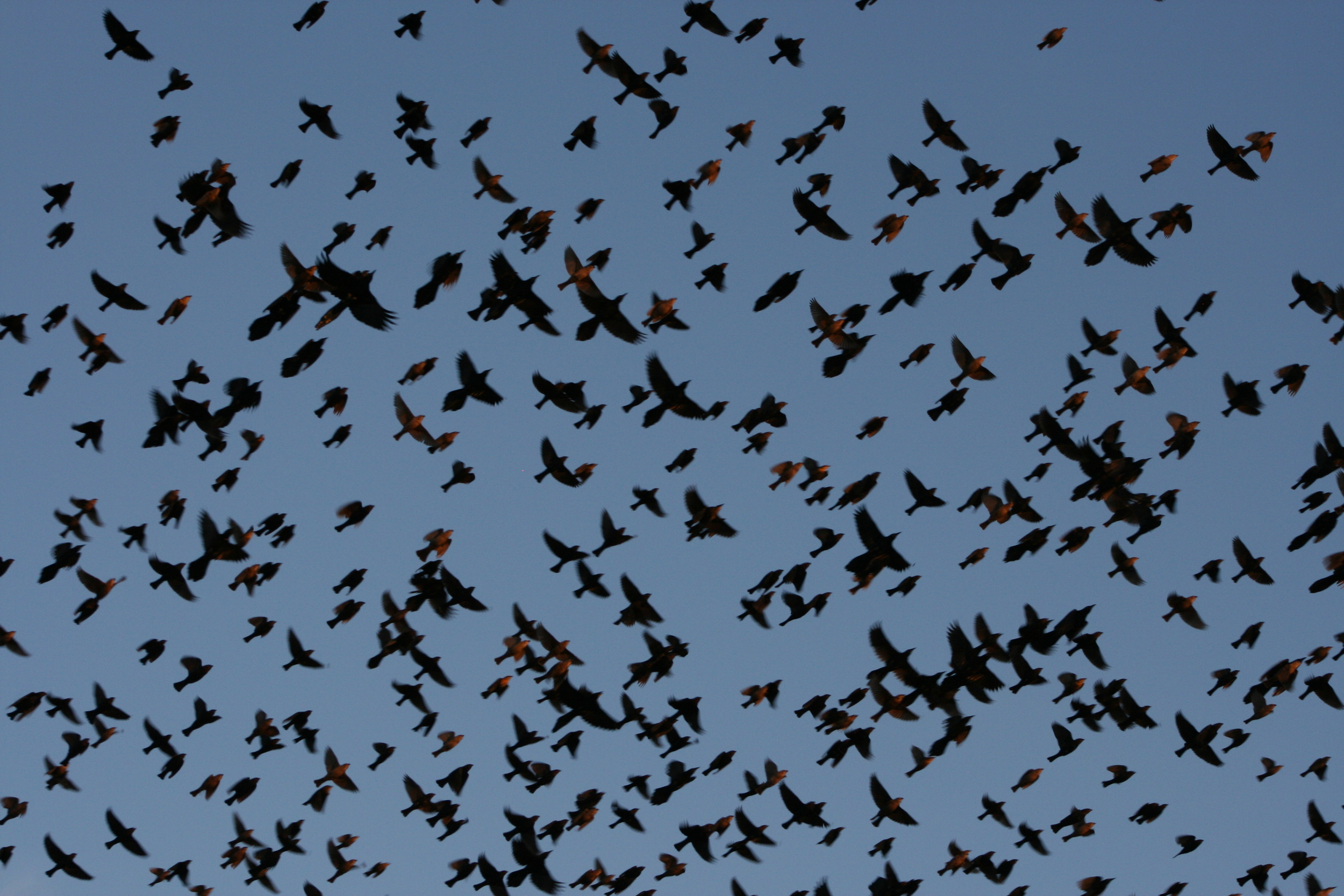 Grackles and Cowbirds.JPG
