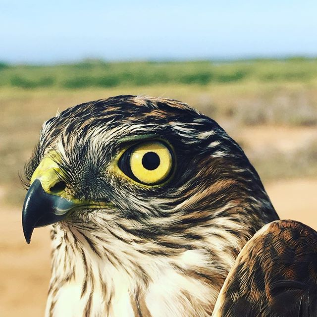 Bird-a-thon is back! Please donate to our bird-a-thon! Or better yet, start a team! Info is all here: https://www.gofundme.com/navopatia-field-station-birdathon  #fundraising #conservation #fieldstation #ecologicalmonitoring #birds  #birdsofinstagram #birdbanding #sonora #mexico #sharpie #pleasedonate #maketheworldabetterplace