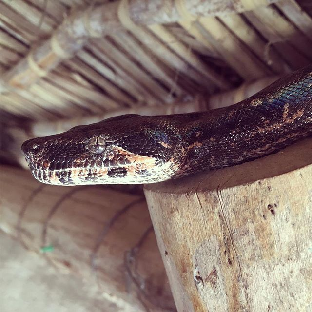 Boa imperators are a common site in Navopatia. When we started working here they were heavily persecuted. They are now welcomed. When some houses get too many they bring them by the field station. Over the years we've had large females take up residence in the kitchen, often attracting males to breed.  #boas #herpetology #savesnakes #snakes #snakey #conservation #longtermmonitoring #fieldstationlife #fieldstation #naturalhistory #livinginthefield #boaimperator #boaconstrictor