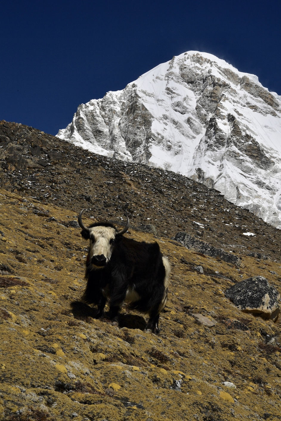 A yak in front of Pumori.  Photo credit Himex.