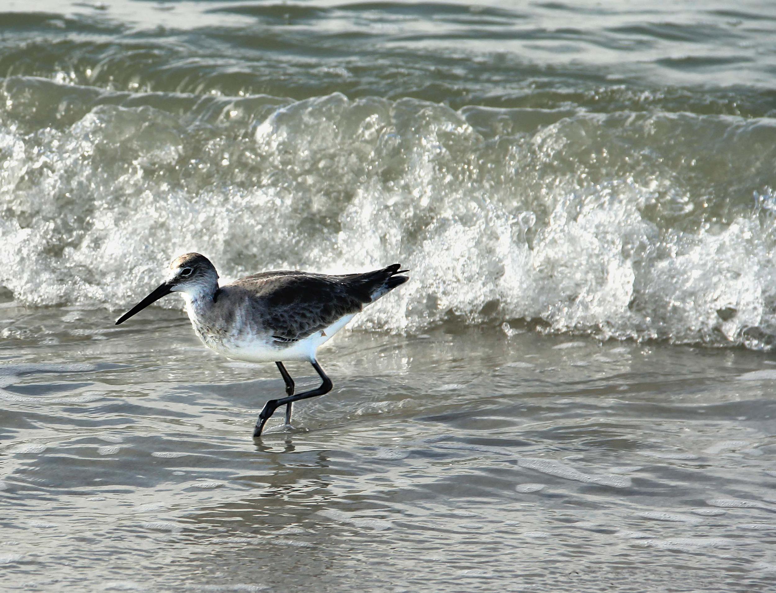 Bird in Surf  F101