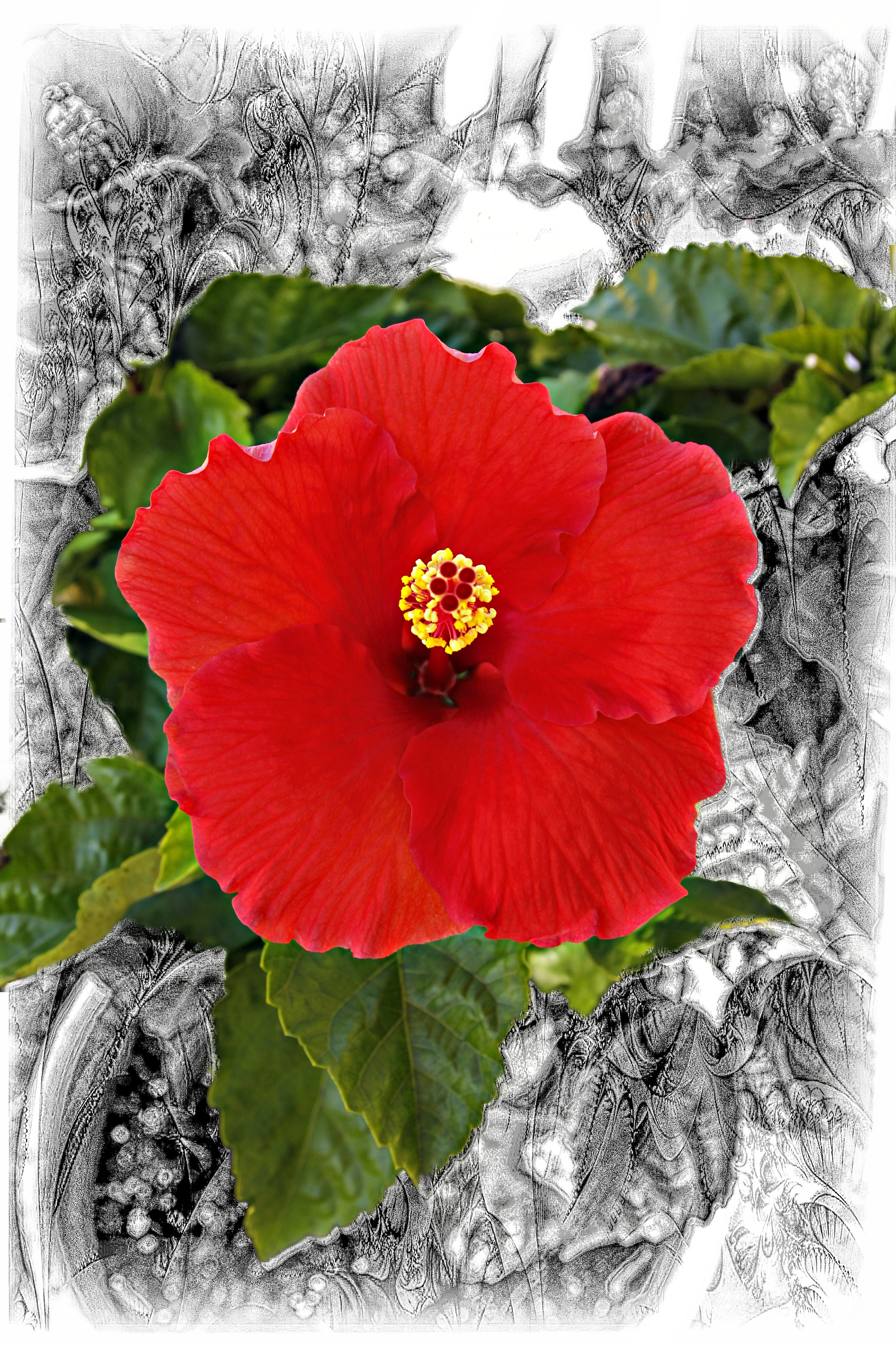 Red Hibiscus on Black  F103