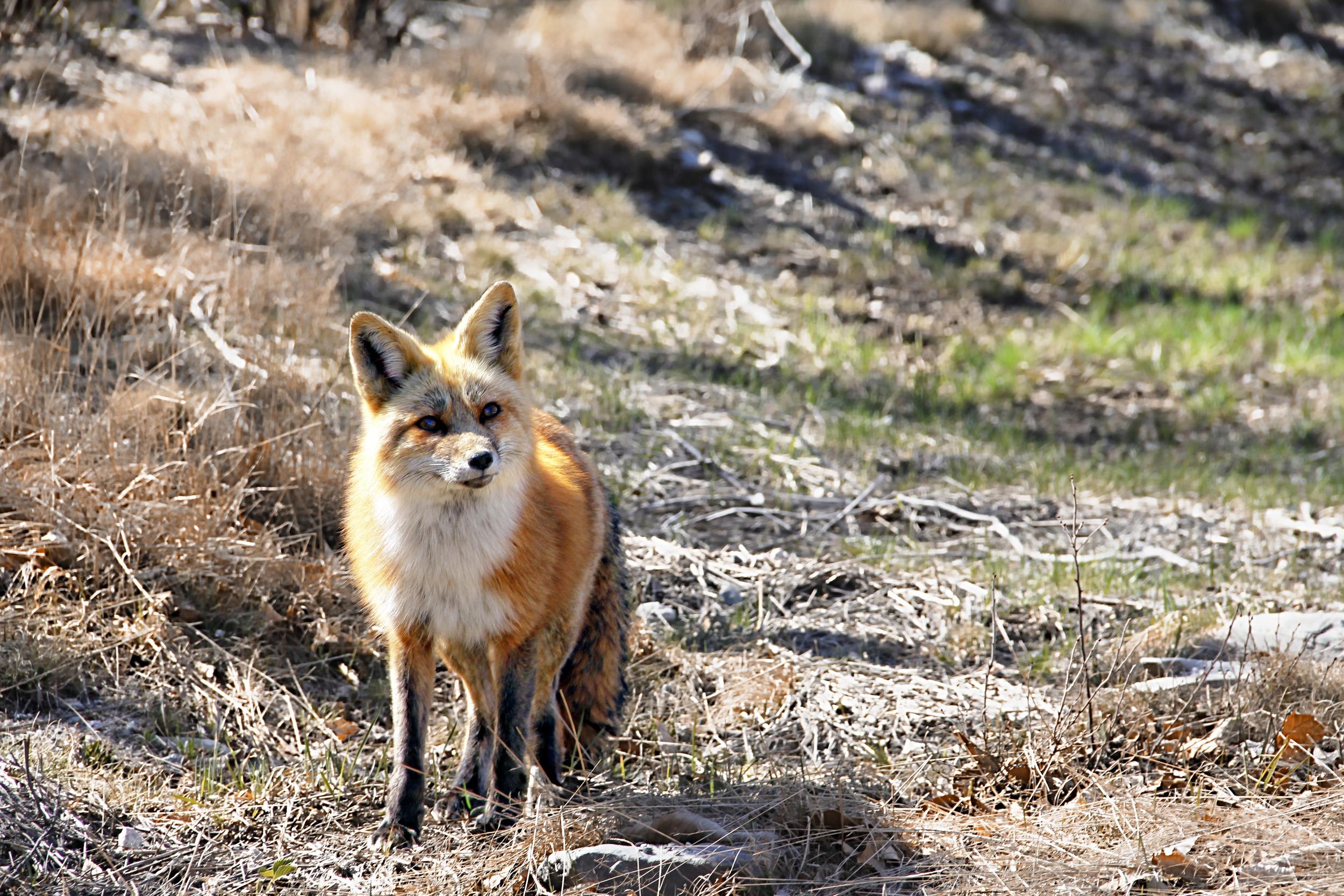 Alert Red Fox  F106