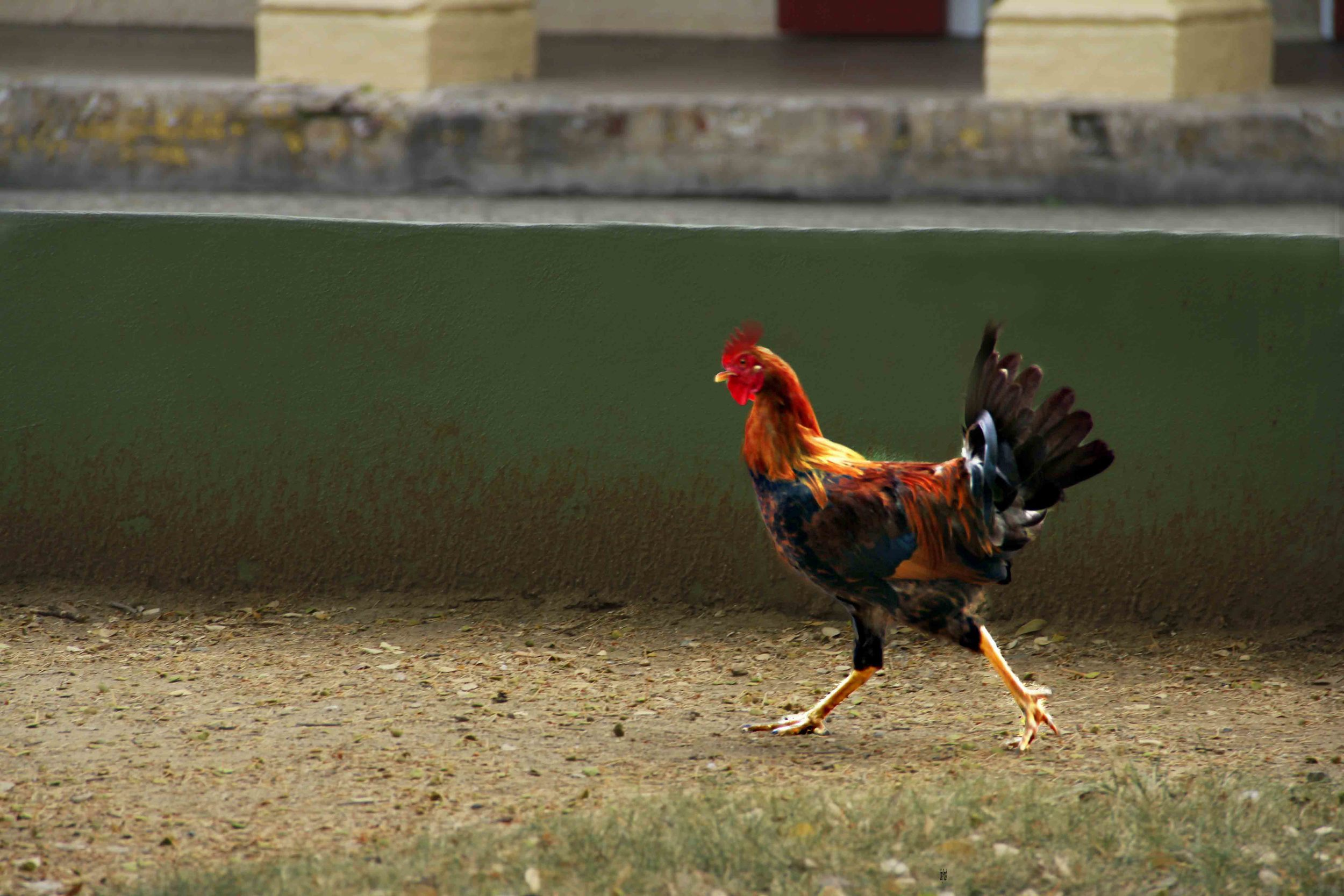 Rooster Running  F107