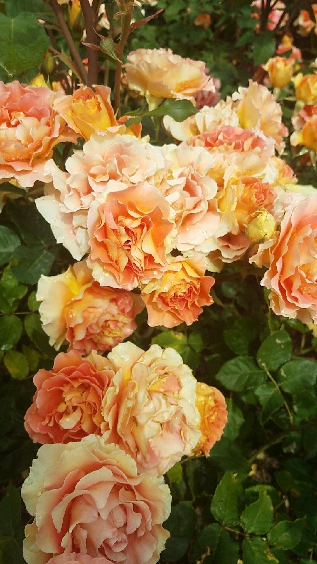 Rose gardens are so legit.
