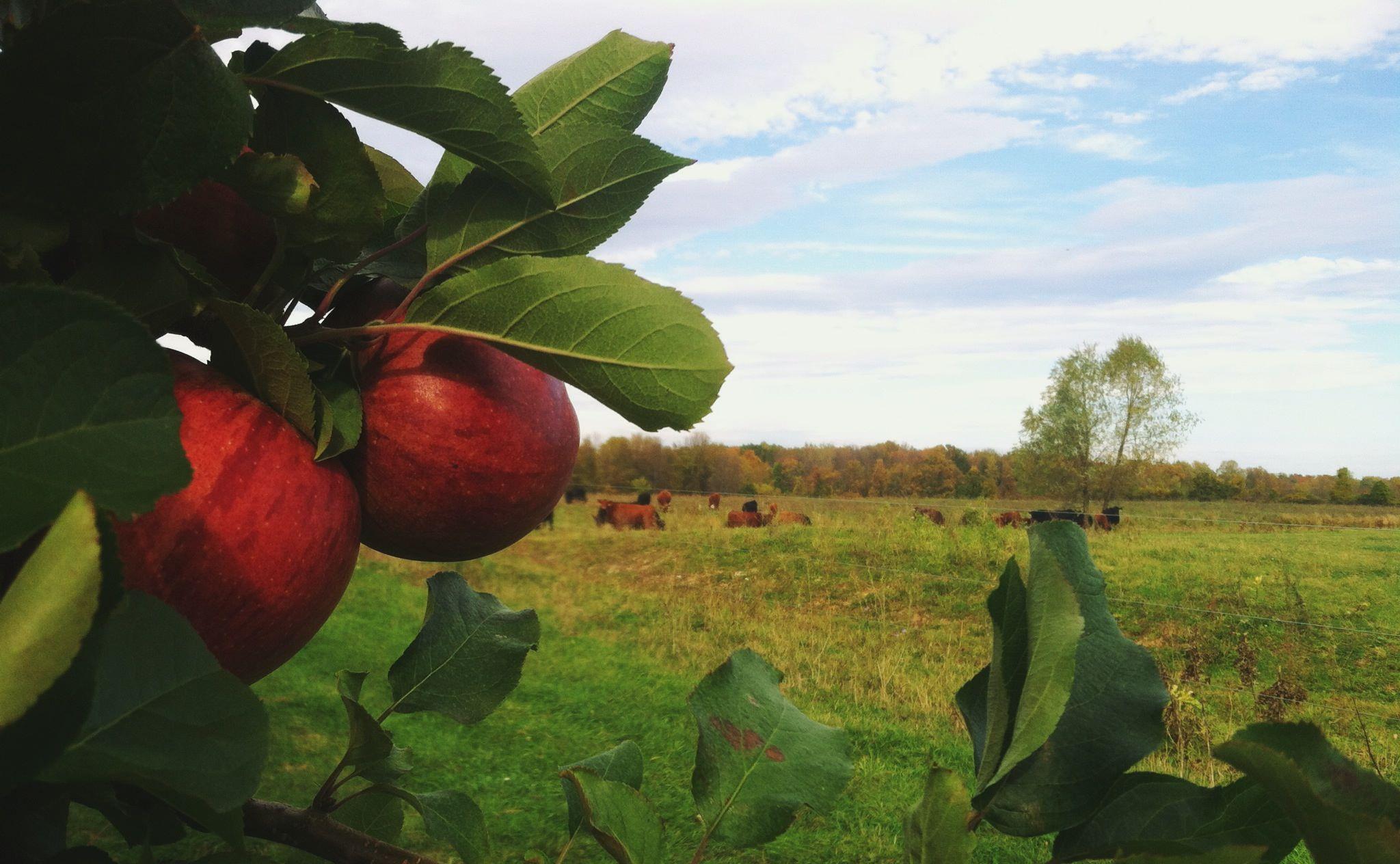 apples and angus.jpg