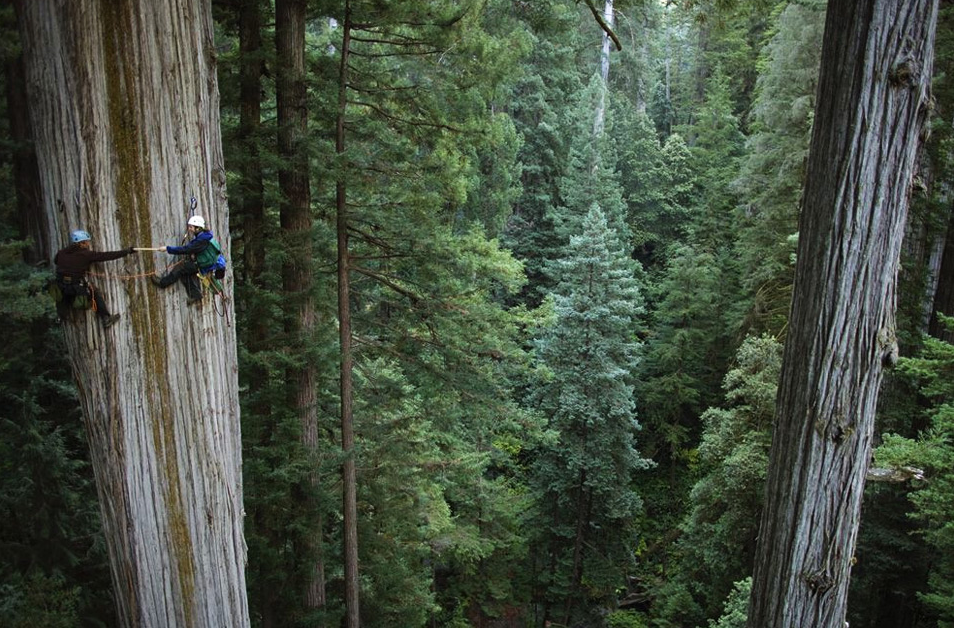 Huge 750 years old sequoia tree, California. Photo by:Michael Nichols