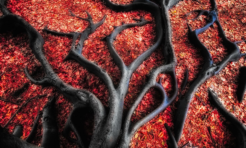 Black roots on red leaves. Photo by:Paul Pichugin